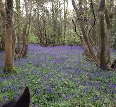 Hacking through Bluebell Woods