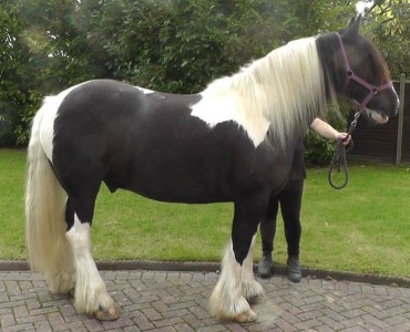 Jake horse for sale from willowbrook riding centre