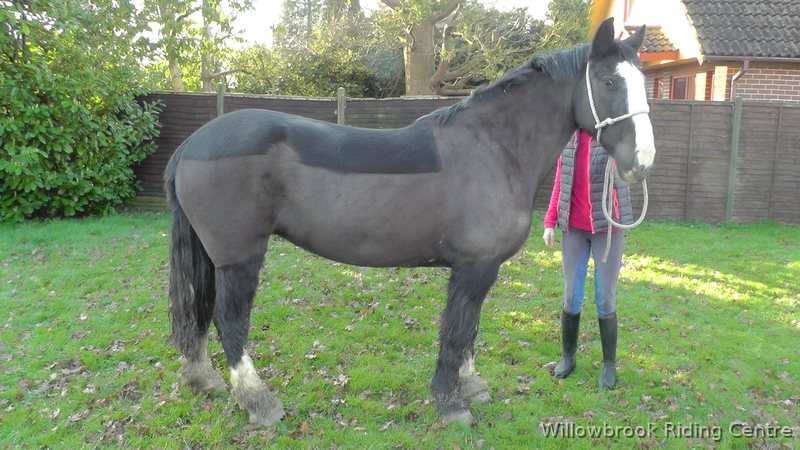 Betty horse for sale in west sussex