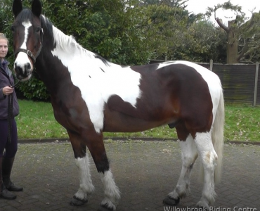 A beautiful riding school horse for sale