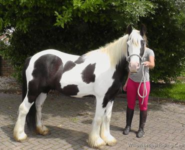 Sunny - Riding School Horse For Sale