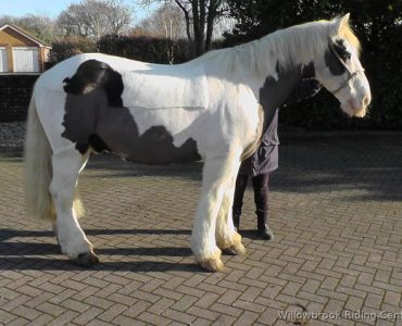 Puzzle horse for sale from Willowbrook Riding Centre