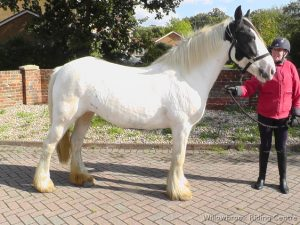 Patch - horse for sale from willowbrook riding centre