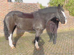 Leon, riding school horse for sale